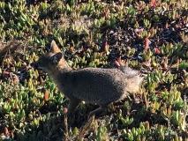 fox-santa-rosa-island